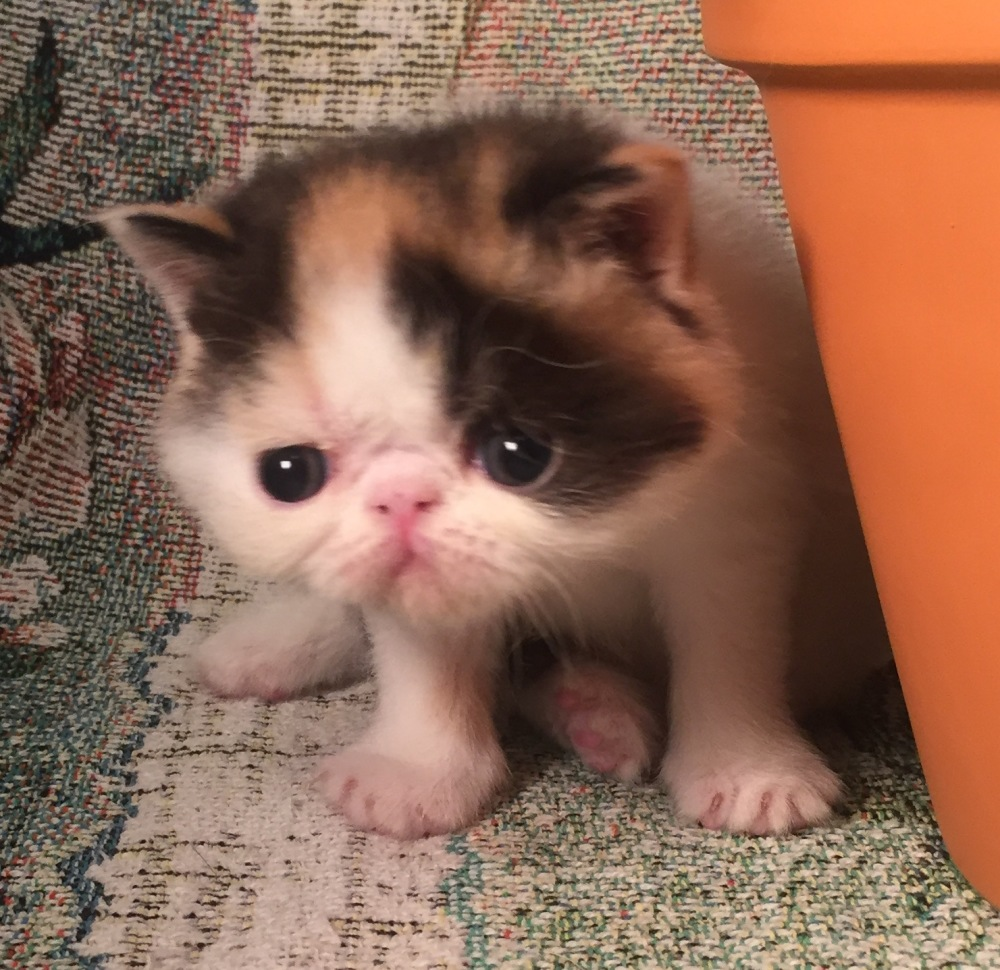 Breeders of Quality Exotic Shorthair Kittens and Ctas   Your Own